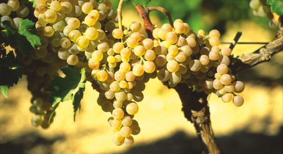 Grapes made by the Spanish sun. (Photo: J. Hidalgo / Turismo Costa del Sol).