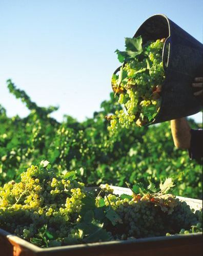 Nature's work; the grapes at harvest time. (Photo: J. Hidalgo / Turismo Costa del Sol)