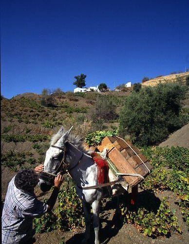 La tradición perdura en la Axarquía: cosecha manual mediante burros (Foto; Consejo Regulador D. O.).