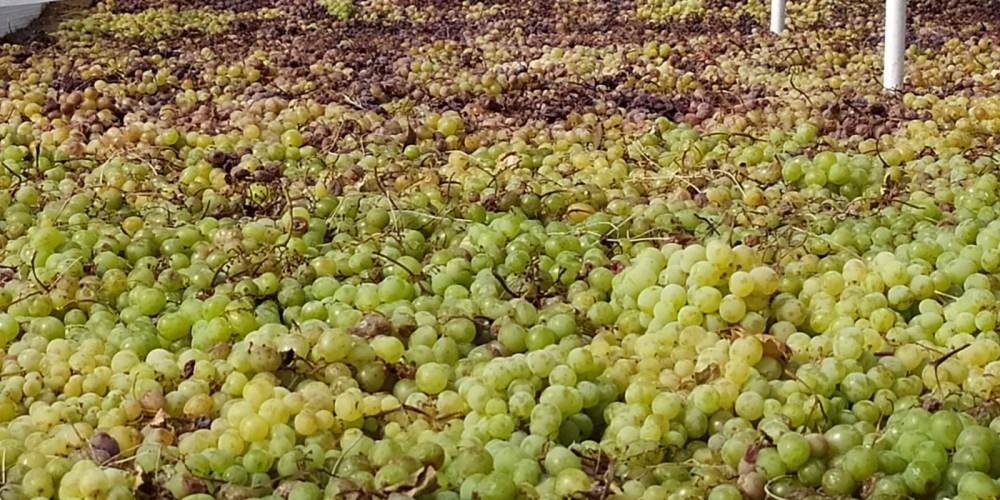 """Uvas secándose en los """"Paseros""""."""