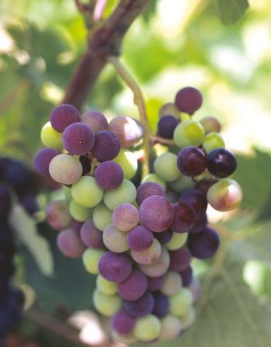 Moscatel grapes are one of the main varieties in this area.